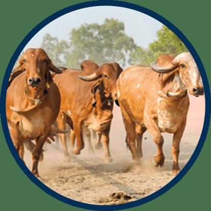 Captains Farm Home Gir Cow